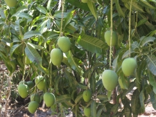 Lots-of-mangoes-hanging-from-t