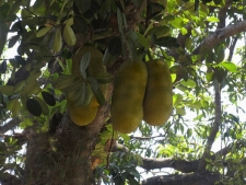 Jackfruits-hanging-from-tree