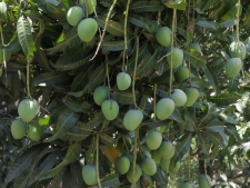 Mangoes-hanging-from-tree