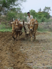 Man-ploughing-field-with-bullo