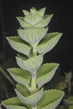 Plectranthus-amboinicus-Leaves