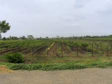 Grapes-field,-rows-of-vines