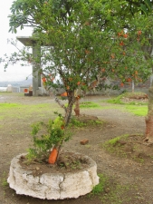 Pomegranate-tree-with-flower-a