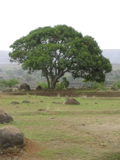 Mango-Tree-in-an-agricultural-
