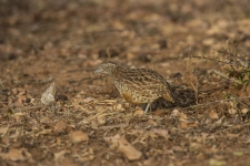 Barred-Button-Quail-or-Common-