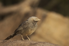Large-Grey-Babbler,-Turdoides-