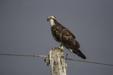 Osprey-sitting-on-pole,-also-c