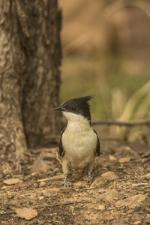 Pied-Crested-Cuckoo,-Clamator-