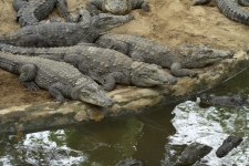 Marsh-Crocodile,-Crocodylus-pa