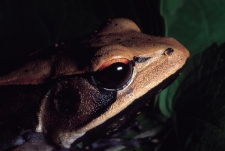 Frog-Close-up-of-head-Castle-R