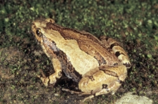 ORNATE-NARROW-MOUTHED-FROG,-Mi