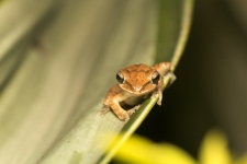 Tree-frog,-Polypedates-sp-Barn