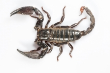 Burrowing-scorpion,-Heterometr