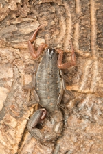 Three-keeled-bark-scorpion,-Ly