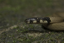Coral-snake,-Calliophis-sp-,-A