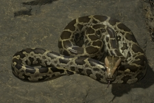 Indian-rock-python,-Python-mol