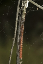 Long-leg-spider-,-Aarey-Milk-C