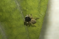Jumping-spider-,-Salticidae-,-