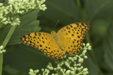 Common-Leopard-butterfly,-Phal