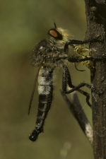 Robber-fly,-Aarey-Milk-Colony