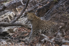 Indian-Leopard,-Ranthambhore-T
